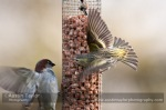 Siskin and House Sparrow