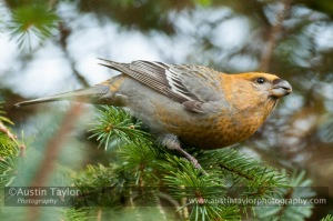 Pine Grosbeak, Collafirth, 7 Feb 2013